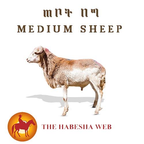medium size sheep
